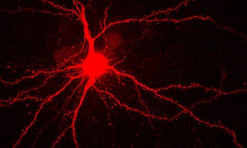 2020-10-Han-Lu-Pyramidal-Neurons