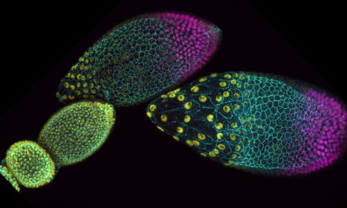 2020-11-Vanessa-Weichselberger-Drosophila-Egg-Chambers
